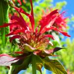 """Jacob Cline BeeBalm"" by vpicks"