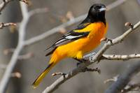 Baltimore Oriole 120