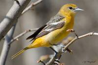 Female Baltimore Oriole 126