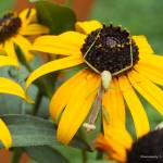 """Preying Mantis on Black Eyed Susan"" by Kimmary"