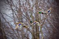 Mallards Through the Trees