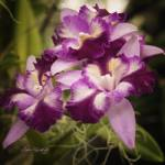 """RUFFLED ORCHIDS"" by shaynaphotography"