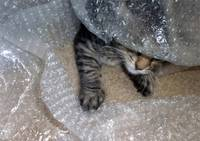 Mikino Burrowing in Bubble-Wrap