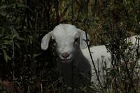 Young Goat Kid in a Field