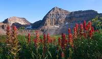 Timpanogos Paintbrush