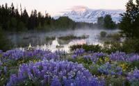 Teton Lupines by David Kocherhans
