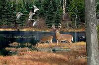 Whitetail Deer Art - Deer Lake