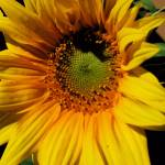 """""""Sunflower"""" by 2cats2"""