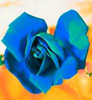 Blue Rose with Yellow