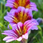 """Salpiglossis Painted Tongue"" by vpicks"