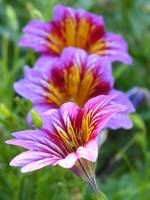Salpiglossis Painted Tongue