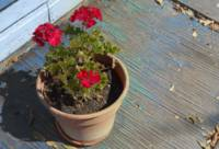 Geraniums on Blue Porch