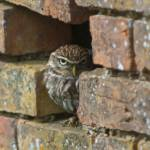"""Burrowing Owl in Brick Wall"" by rdwittle"