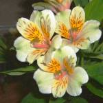 """Peruvian Lily Alstroemeria"" by rdwittle"