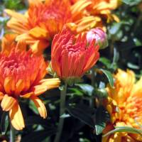 Yellow and Orange Mums Art Prints & Posters by John's Canvas Prints