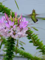 Cleome and hummingbird