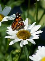 Painted lady on daisy
