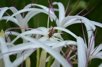 Bee On a Spider Lily