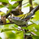 """Chestnut-sided Warbler"" by WildAboutNaturePhotography"