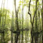 """Jeffries Creek Swamp"" by davisrobertb"