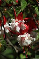 Red and White Flower on a Tree