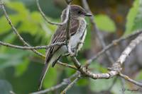 Eastern Phoebe Flycatcher 094