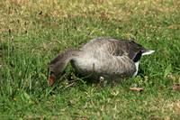 Gray Goose in Grass and Flowers
