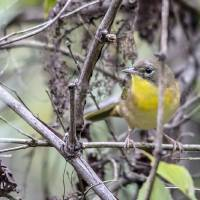 Common Yellowthroat Art Prints & Posters by Laura Frazier