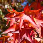 """""""Red Autumn Leave Art Prints Fall Trees"""" by BasleeTroutman"""