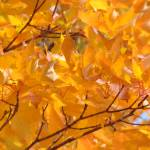 """Golden Glowing Orange Fall Tree Leaves Autumn"" by BasleeTroutman"