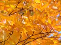Golden Glowing Orange Fall Tree Leaves Autumn