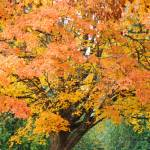 """Big Autumn Tree in Park Orange Yellow Leaves"" by BasleeTroutman"