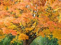 Big Autumn Tree in Park Orange Yellow Leaves