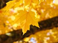 Glowing Sunlit Yellow Autumn Leaves Trees