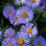"""Alpine Asters"" by dkocherhans"