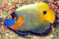 Angelfish Full Portrait