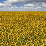 """Texas Wildflower Images - Summer Sunflowers 8"" by RobGreebonPhotography"
