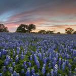 """Texas Bluebonnet Images - Evening in the Texas Hil"" by RobGreebonPhotography"