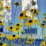 """Black-Eyed Susans"" by Fotofrieze"