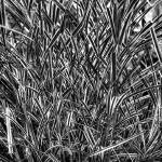 """Broadgrass in B&W"" by Fotofrieze"
