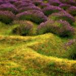"""Lavender Fields"" by Michelle1991"