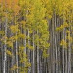 """Colorado Images - Aspen Forest - Colorado Rockies"" by RobGreebonPhotography"