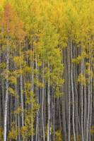 Colorado Images - Aspen Forest - Colorado Rockies