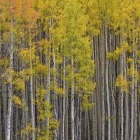 Colorado Images - Aspen Forest - Colorado Rockies Art Prints & Posters by Rob Greebon