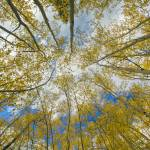 """Colorado Images - Aspen Forest Tree Tops Autumn"" by RobGreebonPhotography"