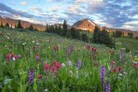 Colorado Wildflower Images - Morning in Colorado