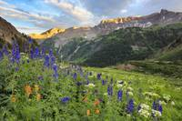 Colorado Wildflower Images - Yankee Boy Summer 2