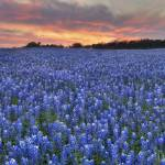 """Texas Bluebonnet Images - Bluebonnet Panorama"" by RobGreebonPhotography"