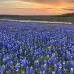 """Texas Bluebonnet Images - Bluebonnet Sunrise Pano"" by RobGreebonPhotography"