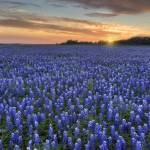 """Texas Bluebonnet Images - Sunset at Turkey Bend 3"" by RobGreebonPhotography"